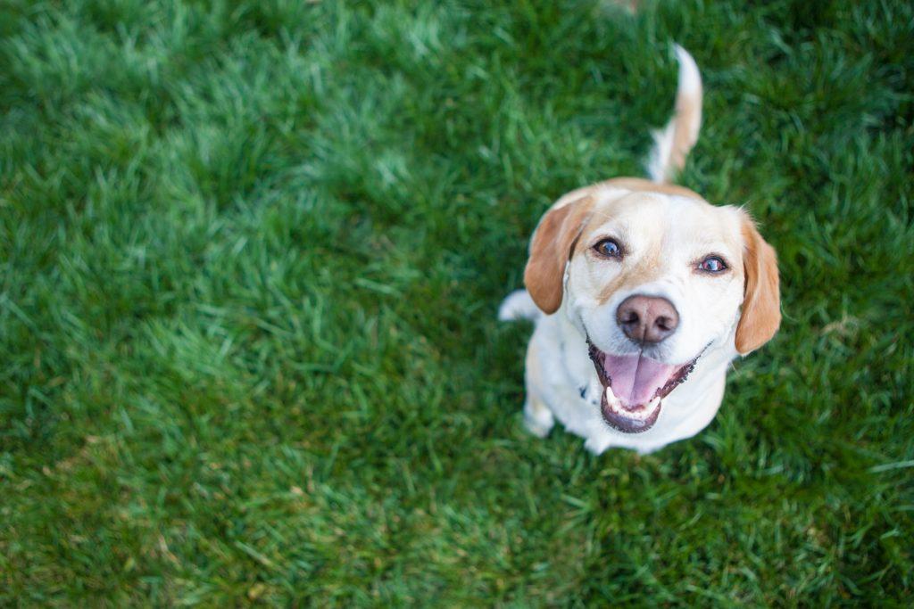 Perro labrador felicidad