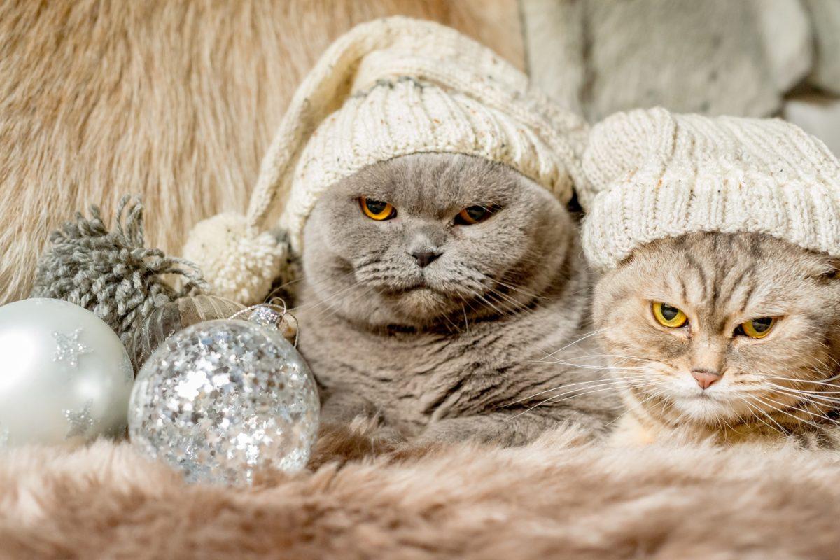 Navidad-gatos-enfadados